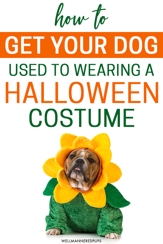 Tips to get your dog used to wearing a Halloween costume